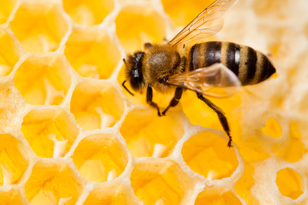 Bee_in_honeycomb