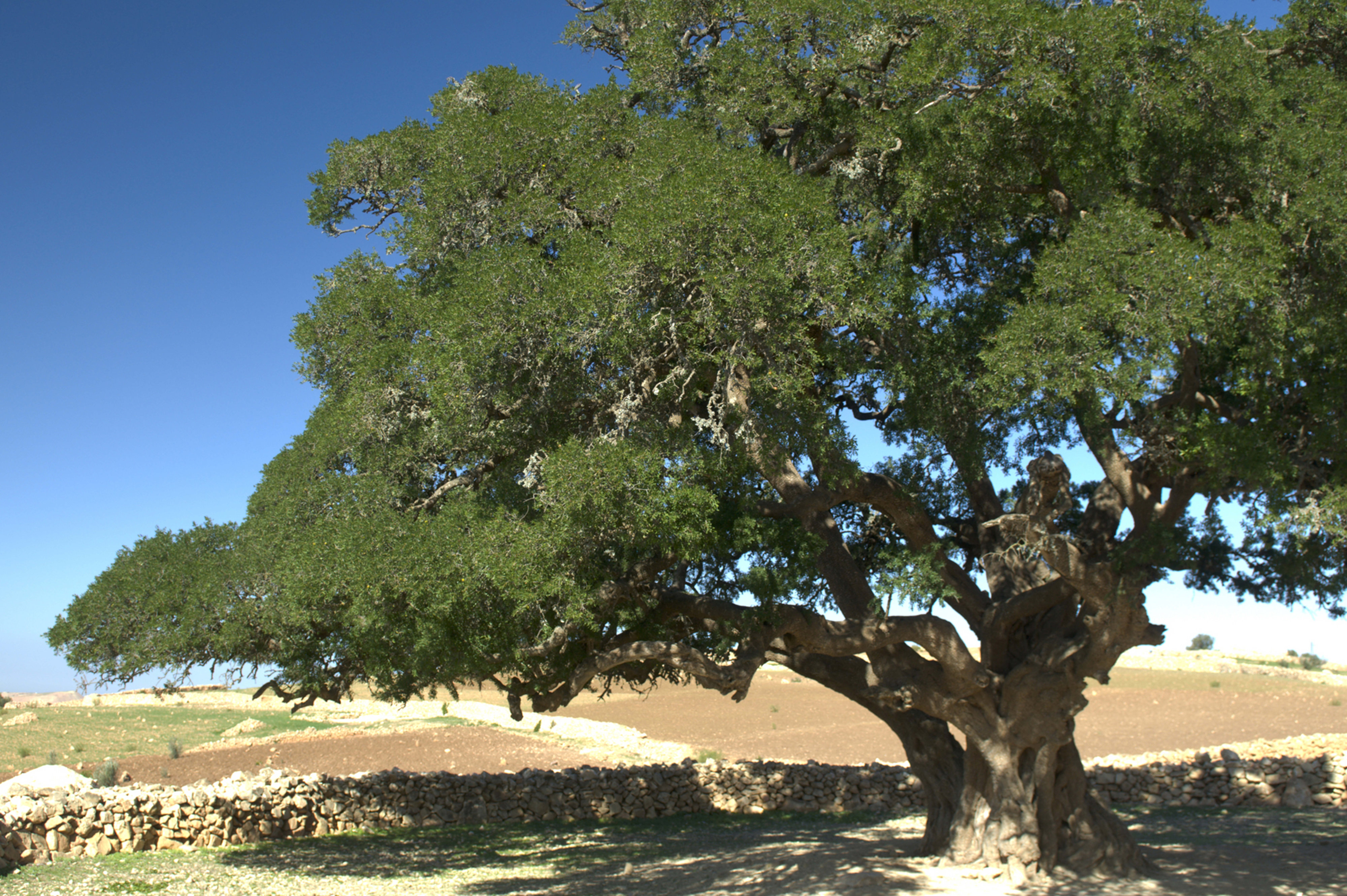 Argan plant source